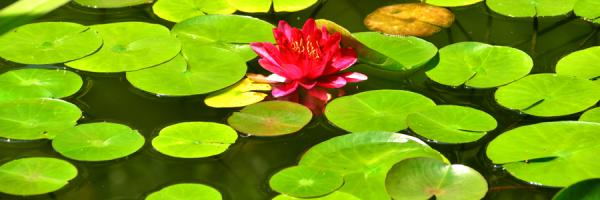 Pond with lillies
