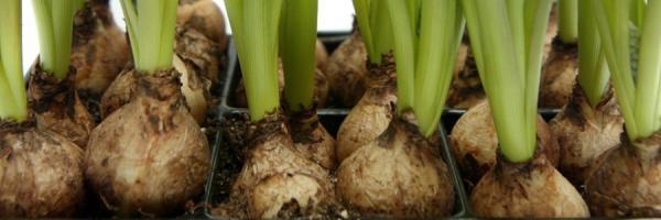 alsip-bulbs-seeds