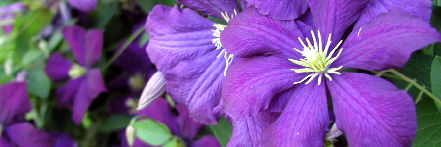 Find clematis vines at Alsip Home & Nursery