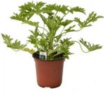 Citronella Plant is effective to Repel Mosquitoes