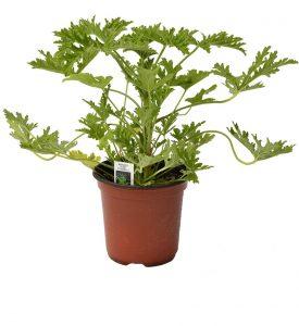 Citronella Plant. #1 Mosquito repellent plant.
