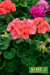 Geranium (annual)