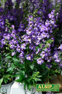 Angelonia (annual)