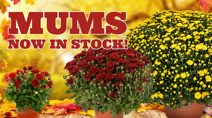 Shop Mums from Alsip Home & Nursery