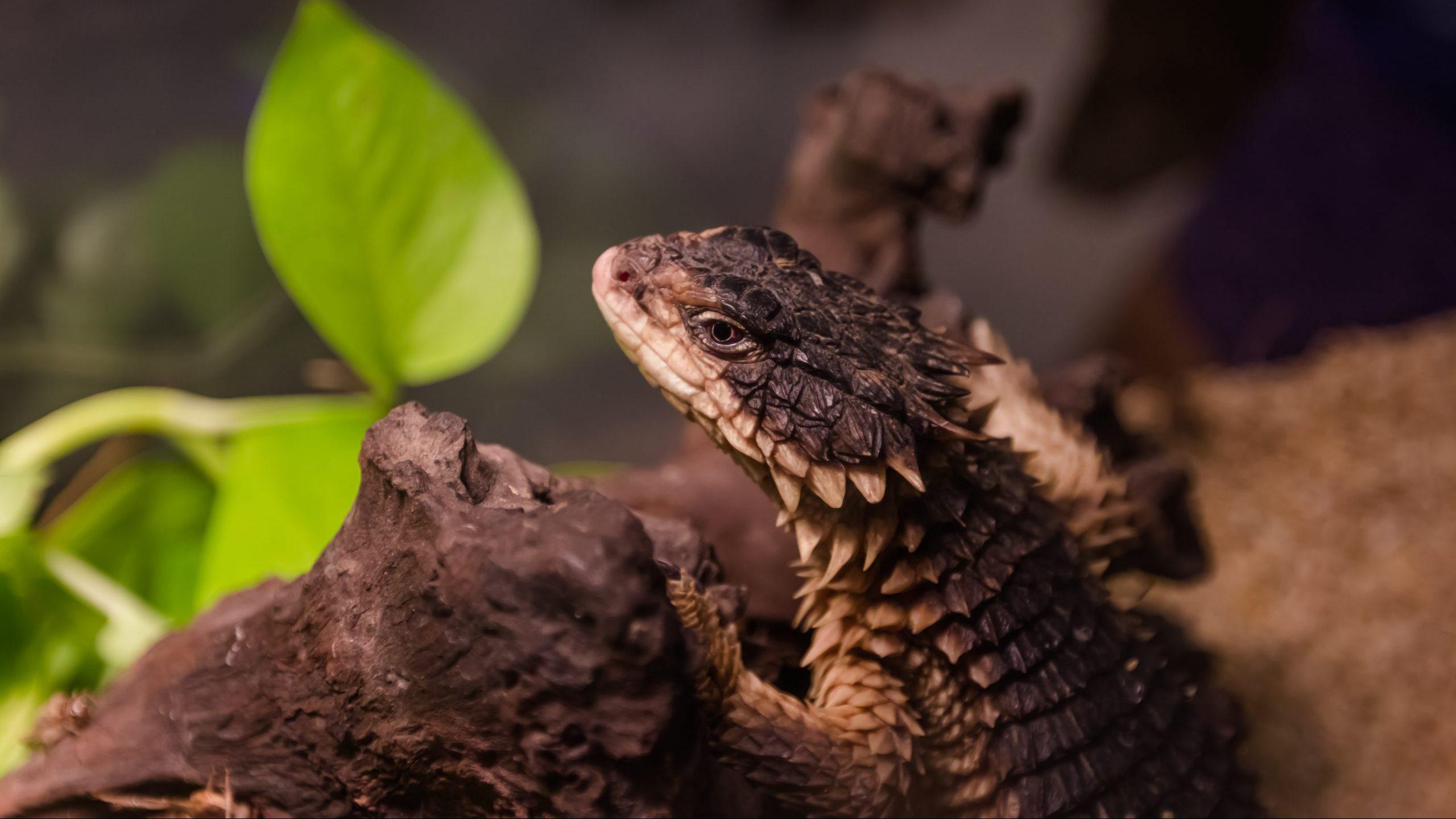 Jones Armadillo Lizard Care Alsip Home Nursery