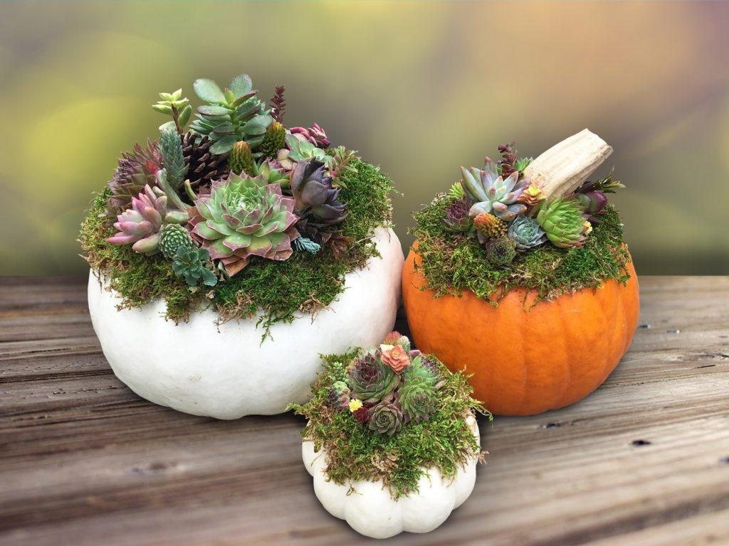 Pumpkin Succulent Trio