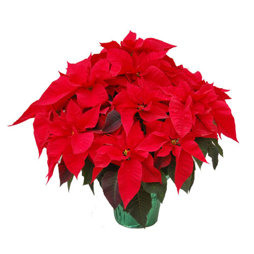 Shop Poinsettias from Alsip Home & Nursery
