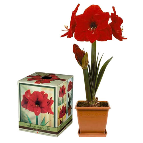 Amaryllis Boxed Gift Kits are available at Alsip Home & Nursery