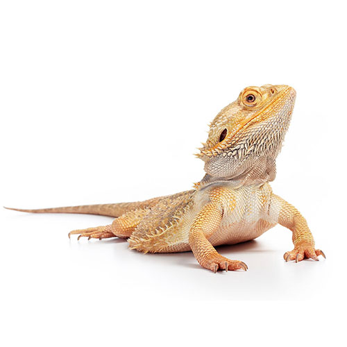 Bearded Dragons are available at Alsip Home & Nursery