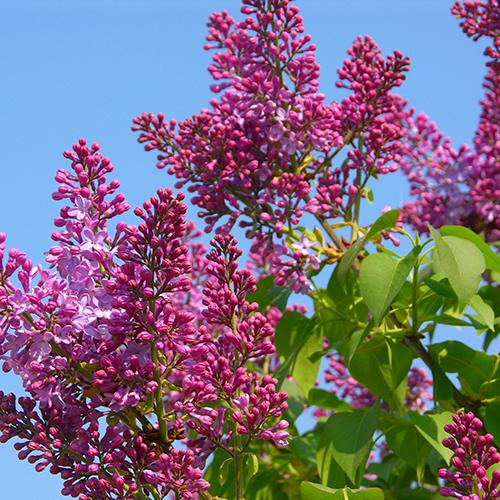 deciduous-shrub