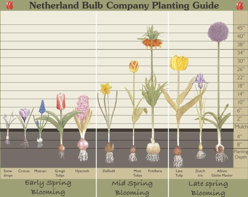 Tips for Spring Blooming, Fall Planted Bulbs depth placement.
