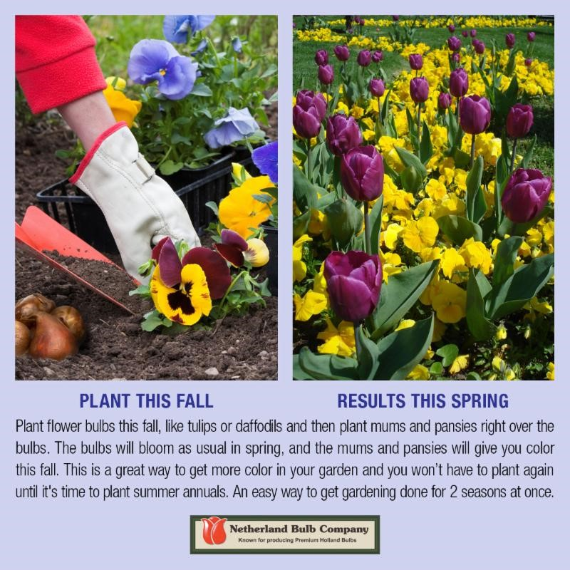 Plant mums and pansies over bulbs for fall color that transforms into bright spring blooms!