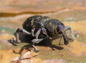Pine Weevil