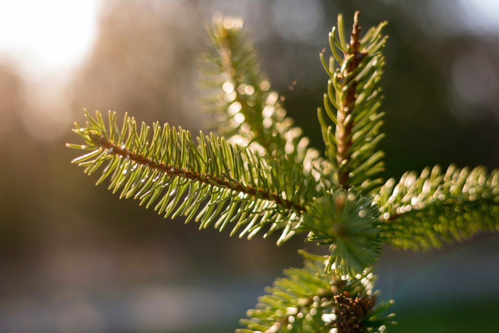 Pine Tree branch in the sun.