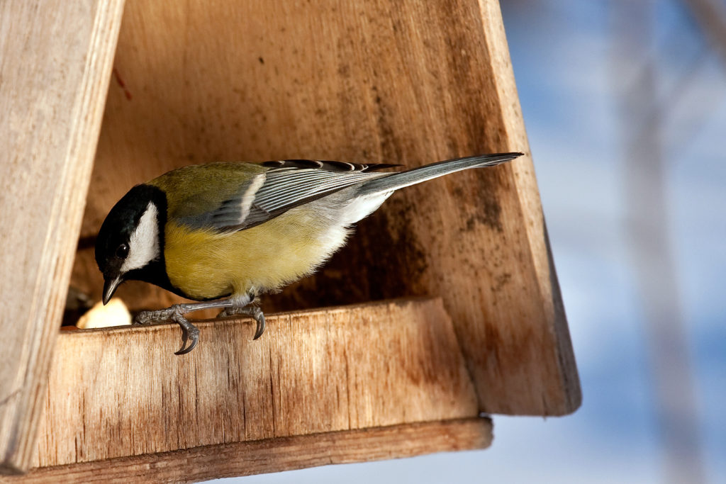 black capped chickadee feeding birdhouse