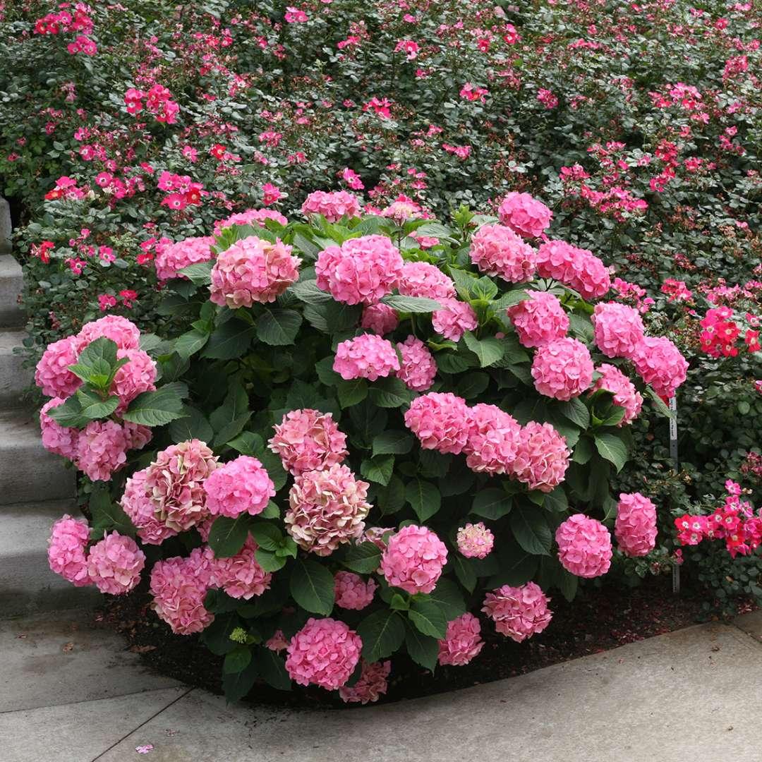 Hydrangea Let S Dance Big Easy Bigleaf Flowering Shrub Quart