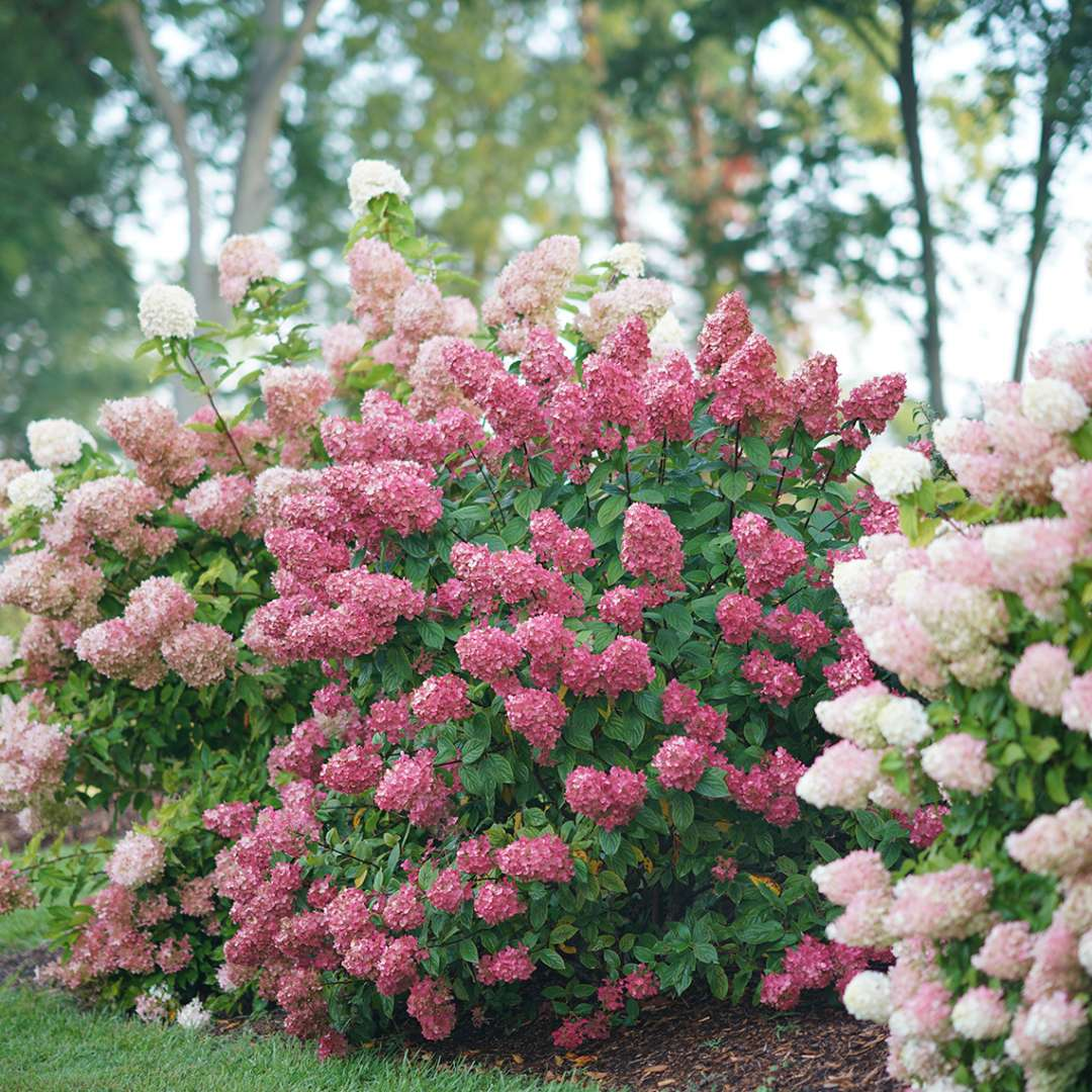 Hydrangea Fire Light Flowering Shrub Quart Sized Pot Alsip