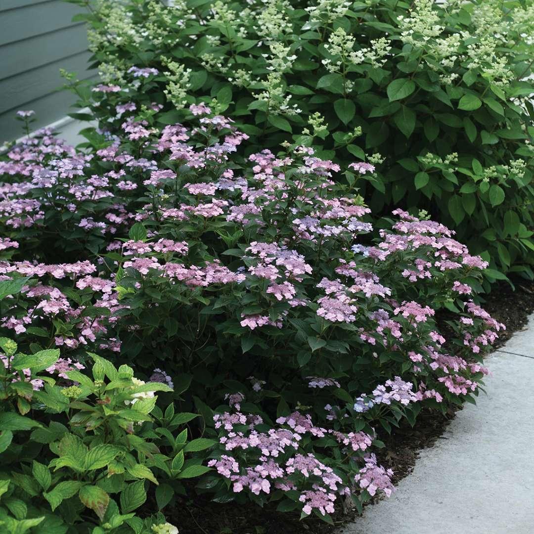 Hydrangea Tuff Stuff Flowering Shrub Quart Sized Pot Alsip