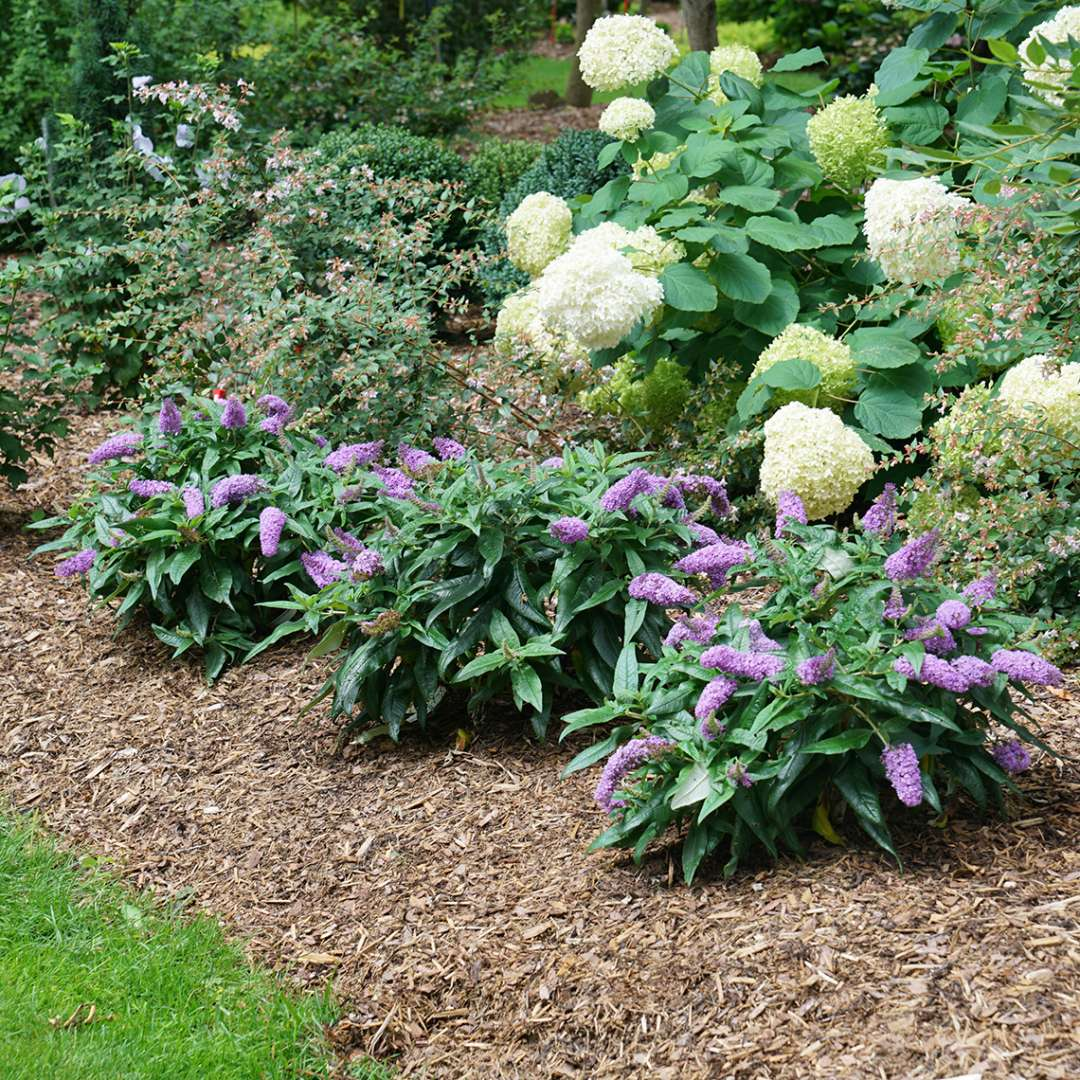 Christmas Bush In Pots.Butterfly Bush Pugster Amethyst Flowering Shrub Quart Sized Pot