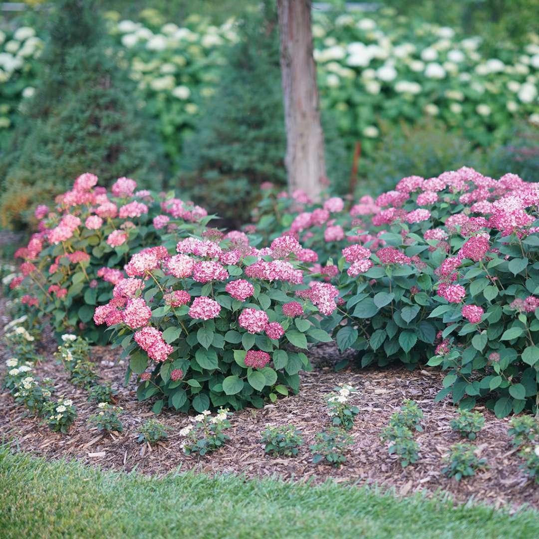 Hydrangea, Invincibelle® Ruby Flowering Shrub, Quart-Sized Pot