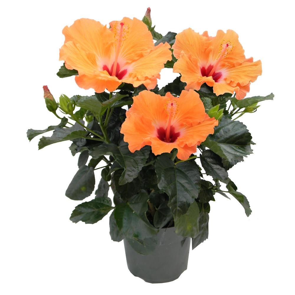 Hibiscus Plant 6 Pot Alsip Home Nursery