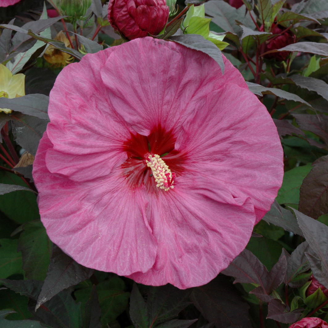 Hibiscus Summerific Berry Awesome Rose Mallow Lavender Pink 1