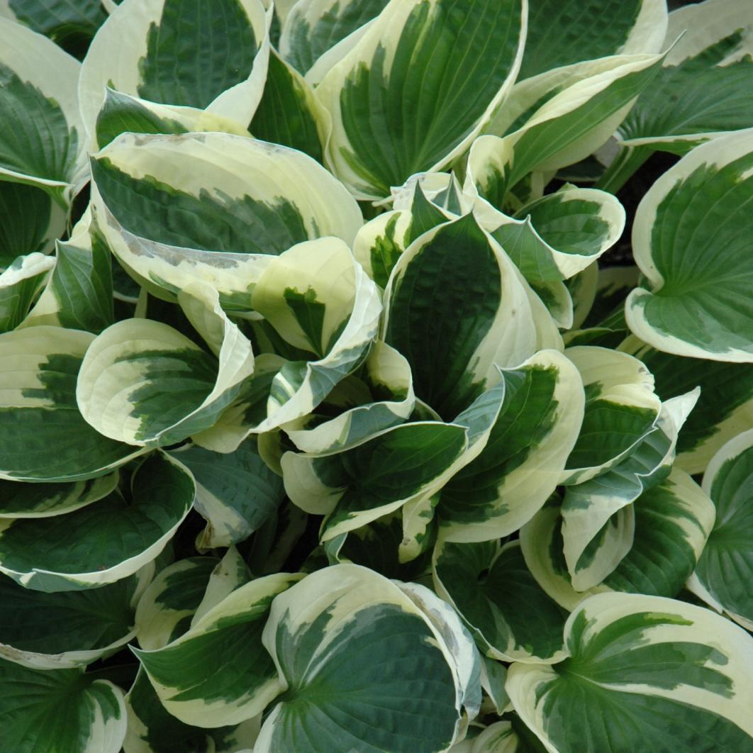 Hosta Patriot Lavender 1 Gallon Pot Alsip Home Nursery