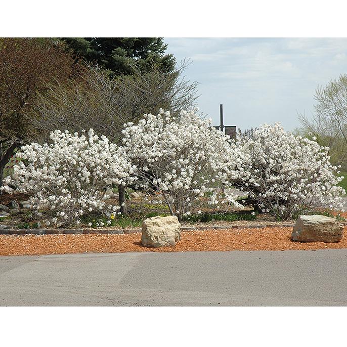 Magnolia Tree Royal Star Bb 5 Ft Alsip Home Nursery