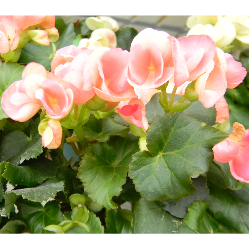 Begonia Reiger Plant 4 5 Pot Alsip Home Nursery
