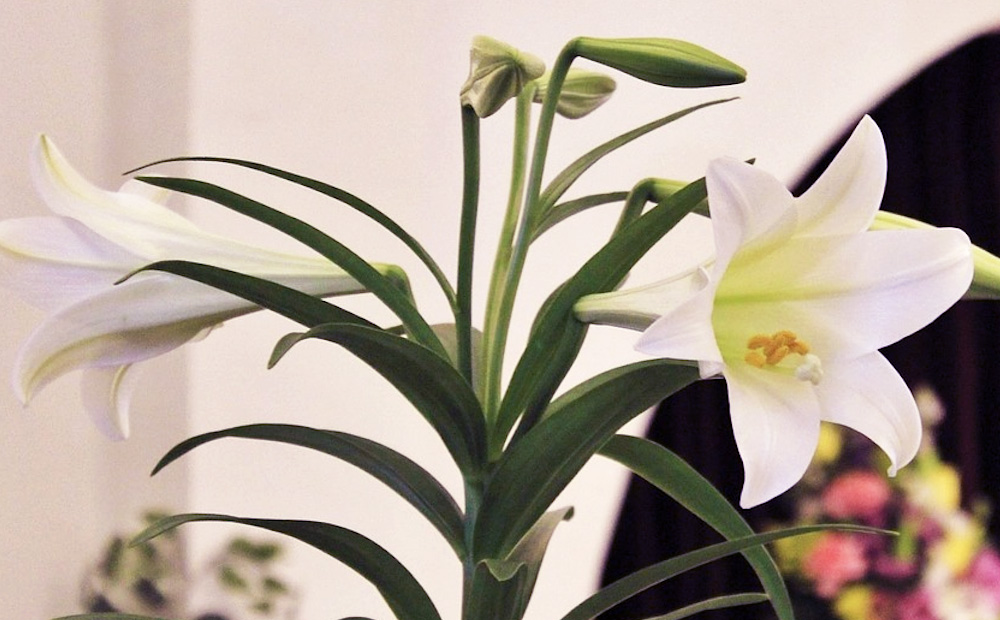 The Meaning Of Easter Lilies And Other Seasonal Plants Alsip Home Nursery