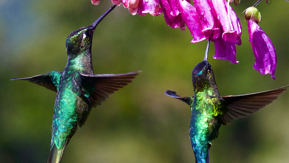 pink flowers hummingbirds