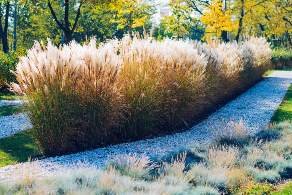 exotic grass ornamental grasses guide st. john