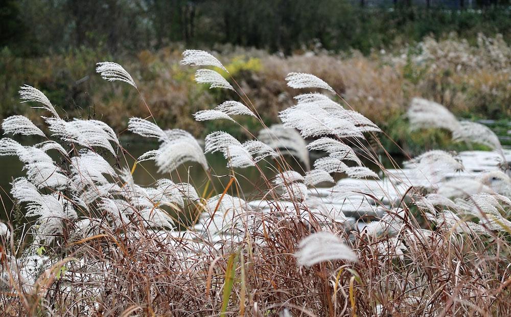 ornamental grasses guide st. john