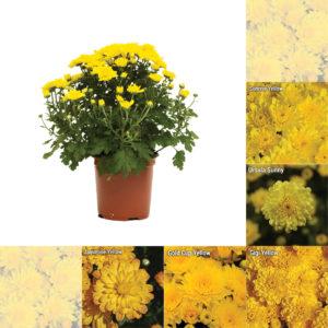 "5"" Quart - Yellow Garden Mum"