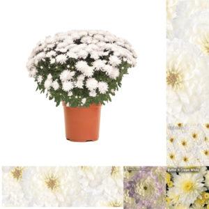 "5"" Quart White Garden Mum"