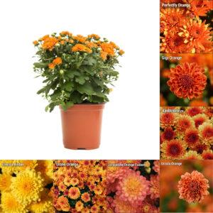"""5"""" Quart Orange Garden Mum"""