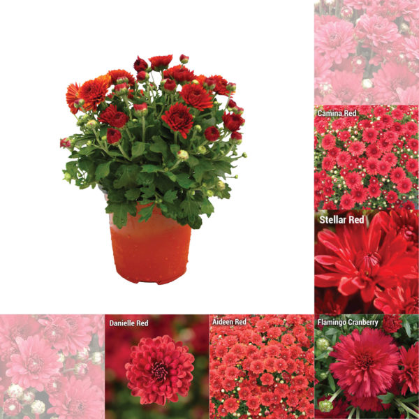 """5"""" Quart Red Garden Mum"""