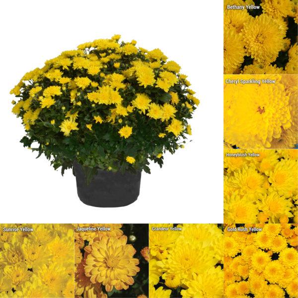 """8x5"""" Short Black Pot Yellow Garden Mum"""