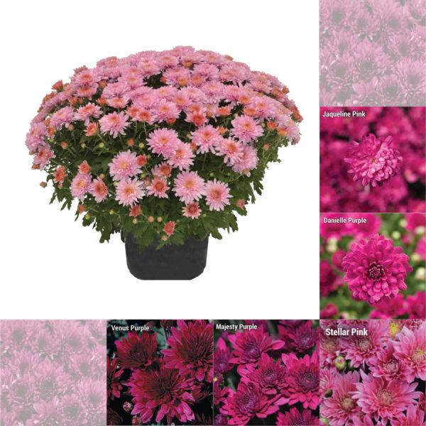 "8""x5"" Pink and Purple Garden Mum"