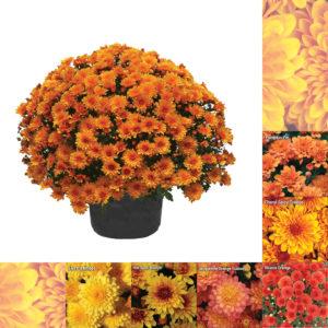 """8""""x5"""" Orange Garden Mum"""