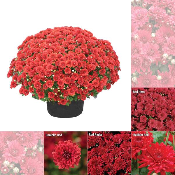 """8""""x5"""" Short Red Garden Mum"""