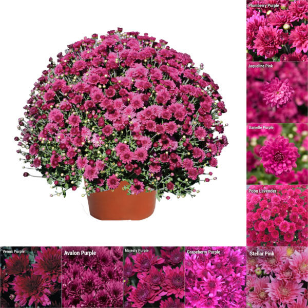 "8""x6"" Pink and Purple Garden Mum"