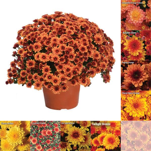 """8""""x6"""" Orange Garden Mum"""