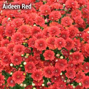 Aideen Red Fire Garden Mum