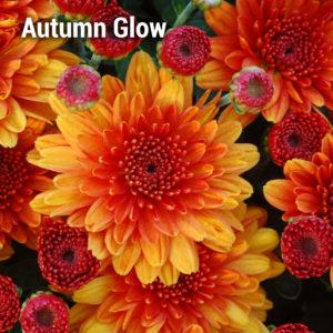 Urano Orange G Electra Amber Ipd Y Jacqueline Orng Fusion Y Ursula Orange Fancy Katelli Bronze B Gigi Orange Y Perfectly Orange Garden Mum