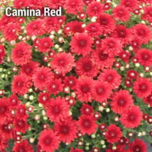 Camina Red Garden Mum
