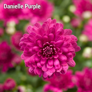Danielle Purple Garden Mum