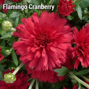 Flamingo Cranberry Red Garden Mum