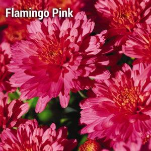 Flamingo Pink Garden Mum