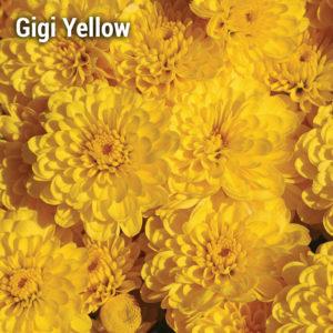 Gigi Yellow Garden Mum